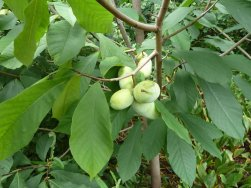 Site-4-Paw-Paw-Fruit