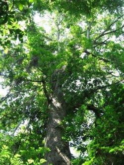 Site-5-Swamp-Chestnut-Oak