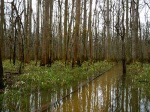 Switch Cane in Flood
