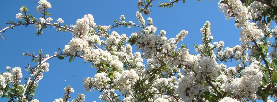 Buckbrush in bloom