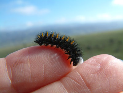 Bay checkerspot caterpillar closeup