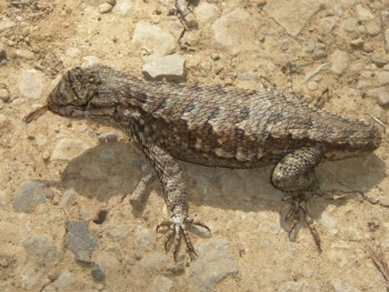 Western Fence Lizard (Sceloporus occidentalis) missing its tail feeding on termites.