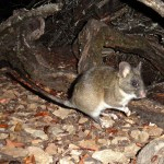 Dusky-footed woodrat in front of stick house. Image via licensed camera trap. © 2013 Ken Hickman