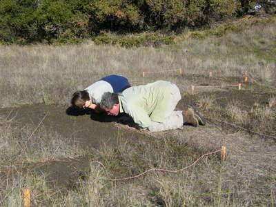 Looking for Thornmint Seedlings