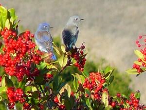 Western Bluebird on Toyon