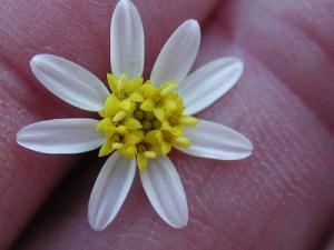 White-rayed pentachaeta