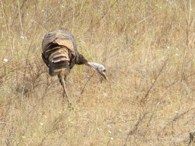 Female wild turkey showing fail feathers