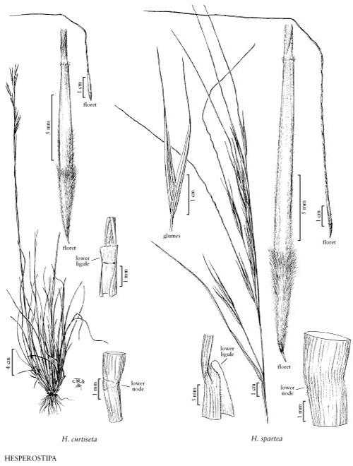 Porcupine Grass, Hesperostipa spartea (Trin.) Barkworth