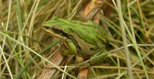 Boreal Chorus Frog Kris Kendell