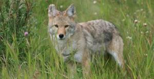 Coyote photo courtesy of Phil Smith