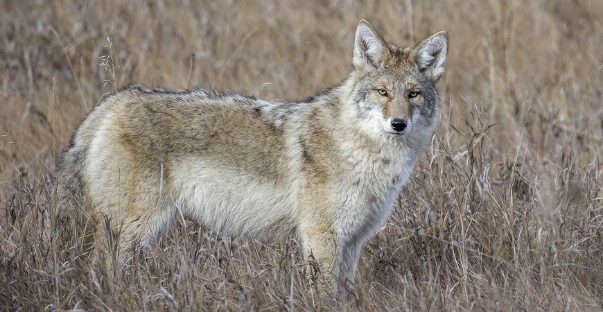 Coyote, Ken Pride