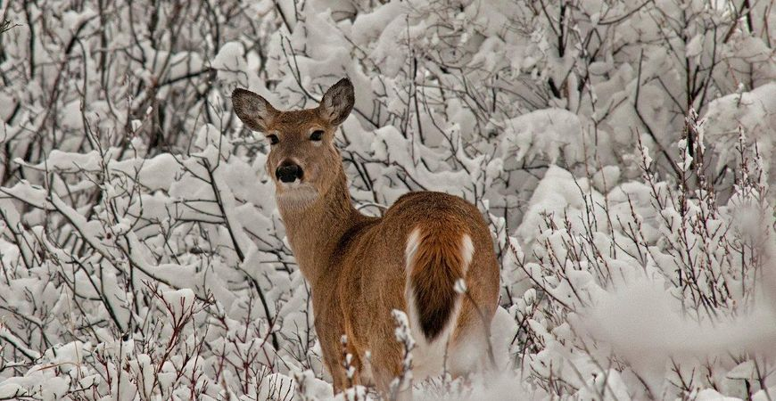 White-tailed Deer, Dave Breckon