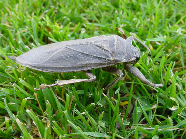 the giant water bug annie dillard