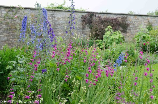 Not open this year, but worth a picture, Delphiniums and Gladiolus communis at Corner House