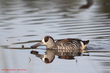 Pink-Eared Duck (Malacorynchus membranaceous)