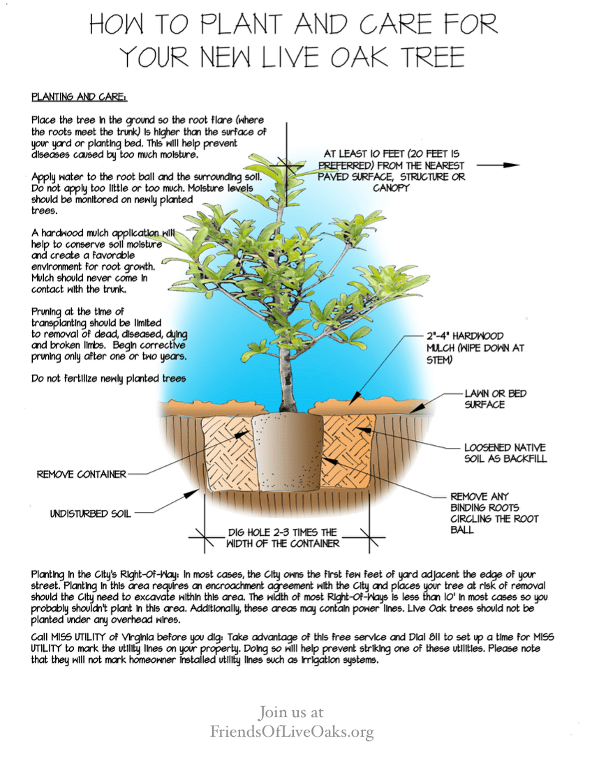 how to plant u0026 care for your new live oak u2013 friends of live oaksoak tree diagram 18 [ 848 x 1098 Pixel ]