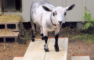 One of several goats kept by the homeowners.