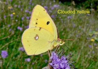 clouded-yellow-1