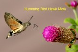 humming-bird-hawk-moth