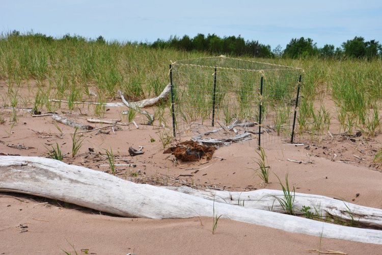 Piping plover nesting site