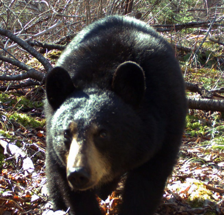 An island black bear