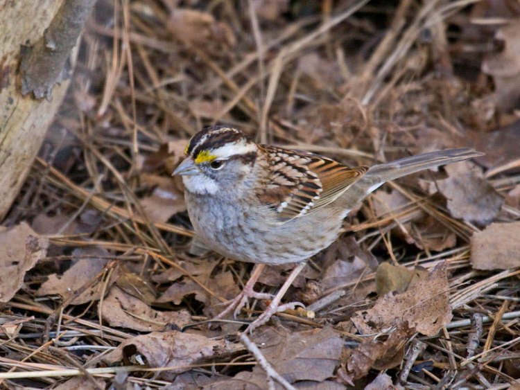 A white throated sparrow