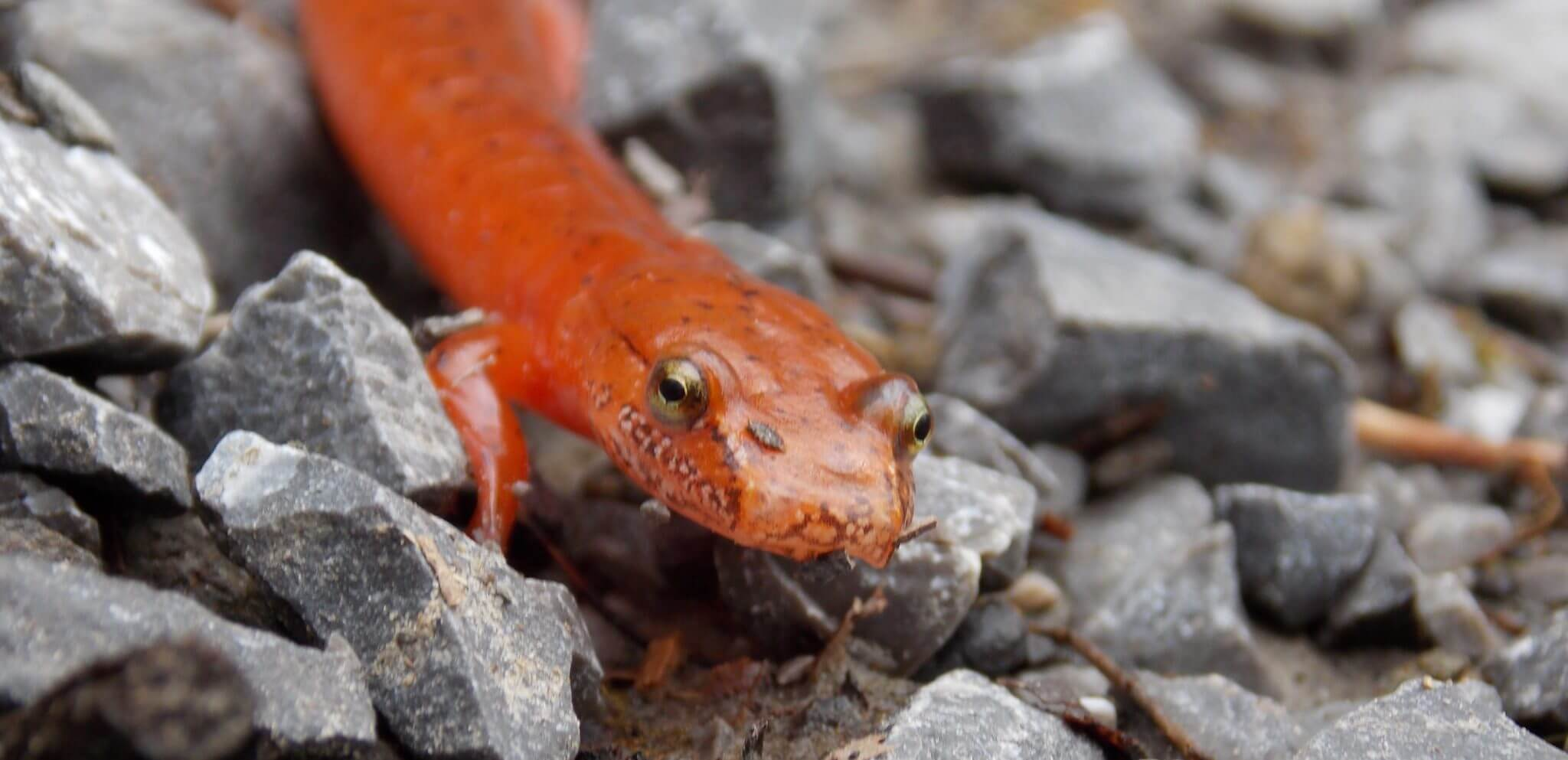 salamander in GSMNP