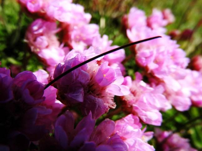 flowers, Tiree