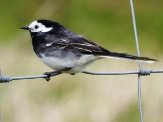 bird, Tiree
