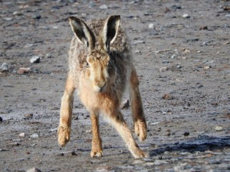 hare, Tiree