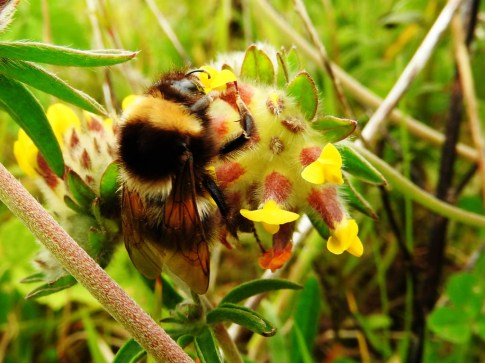 bee on trefoil, Tiree
