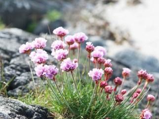 sea pinks, Tiree