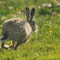 hare, Tiree