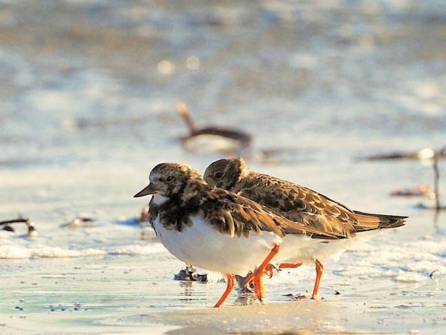 wading birds, Tiree