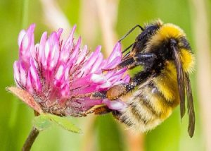 Tiree's great yellow bumblebee project - Friends of Nàdair ...