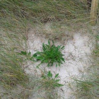 Dune stabilisation on Tiree
