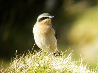 wheatear, Tiree