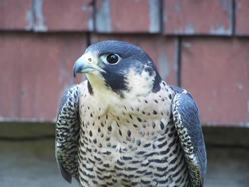CCC Day Falcon