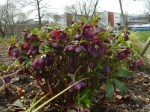 hellebores in early spring