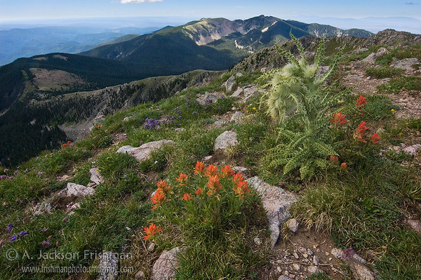 Alpine flowers on Santa Fe Baldy, looking to Lake Peak, Pecos Wilderness, New Mexico, August 2010.