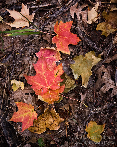 Forest floor maple leaves in New Mexico's Black Range