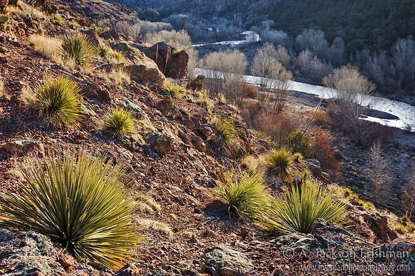 Sotol plants above the Gila River, Gila Wilderness, New Mexico