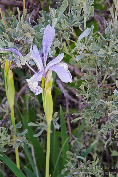Iris and sagebrush in eastern Idaho's Lemhi Range