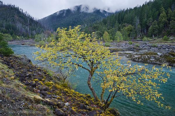 Spring growth along the Illinois River, Kalmiopsis Wilderness, Oregon