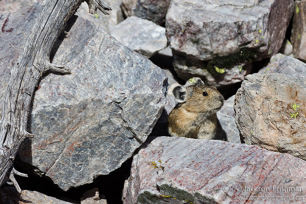 Pika in New Mexico's Pecos Wilderness