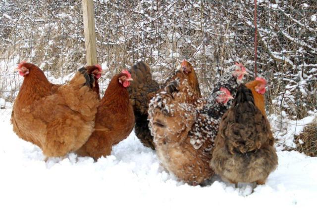 hoens, vinter, hygge, frugtlund, koldt