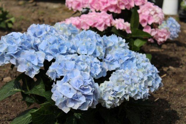 hortensia, haveliv, have, plante