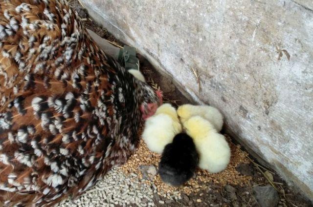 kyllinger, hoenemor, fritgaaende-hoens