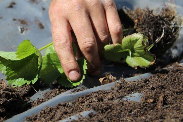 vertikal-jordbaerbed, jordbaer, palleramme, jordbaerbed, jordbaerplanter