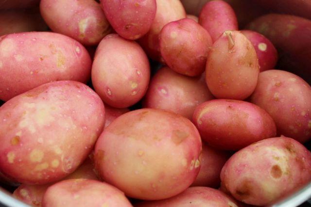 kartofler, koekkenhave